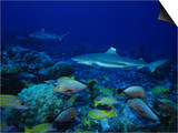 Blacktip Reef Sharks, Swimming, Polynesia Poster by Gerard Soury