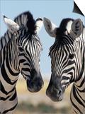 Two Burchell's Zebra, Equus Burchelli, Etosha National Park, Namibia, Africa Poster af Ann & Steve Toon