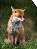 Red Fox, Vulpes Vulpes, Captive, United Kingdom Prints by Steve & Ann Toon