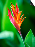 Close Up of Heliconia Flower, Costa Rica, Central America Print by Levy Yadid