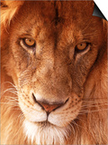 Close-up of Lion's Face Poster by Tim Lynch
