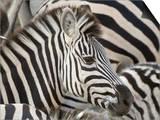 Burchells Zebra, Head, Botswana Posters af Mike Powles