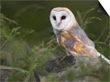 Barn Owl on Dry Stone Wall, Tyto Alba, United Kingdom Art by Steve & Ann Toon