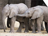 Baby African Elephants, Loxodonta Africana, Etosha National Park, Namibia, Africa Plakater af Ann & Steve Toon