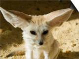 Fennec (Desert Fox) Posters by Nico Tondini