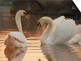 Two Swans on Water Prints by Robert Harding