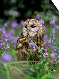 Captive Tawny Owl (Strix Aluco) in Bluebells, United Kingdom Prints by Steve & Ann Toon