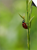7-Spot Ladybird, Climbing up Grass Stem, Rutland, UK Prints by Elliot Neep
