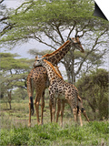 Masai Giraffe Mother and Young, Serengeti National Park, Tanzania, Africa Print by James Hager