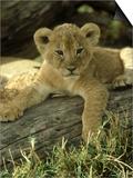 Lion, Panthera Leo 6 Week Old Cub Masai Mara, Kenya Art by Adam Jones