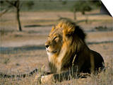Lion (Panthera Leo), Kalahari Gemsbok Park, South Africa, Africa Prints by Steve & Ann Toon