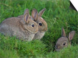 Young Rabbits (Oryctolagus Cuniculas), Outside Burrow, Teesdale, County Durham, England Print by Steve & Ann Toon