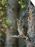 Long-Eared Owl, Asio Otus, Highlands, Scotland Kunst van Mark Hamblin