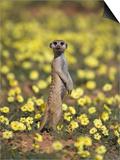 Meerkat (Suricata Suricatta), Kgalagadi Transfrontier Park, South Africa, Africa Plakater af Ann & Steve Toon