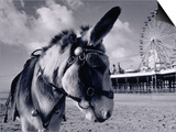 Donkey at Shorefront, Blackpool, England Prints by Walter Bibikow