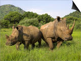 White Rhino, with Calf in Pilanesberg Game Reserve, South Africa Posters by Steve & Ann Toon