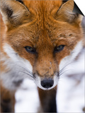 Red Fox, Portrait of Face, Lancashire, UK Posters by Elliot Neep