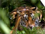 Female Indian Tiger at Samba Deer Kill, Bandhavgarh National Park, India Reprodukcje autor Thorsten Milse