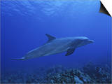 Bottlenose Dolphin, Underwater, Caribbean Prints by Gerard Soury