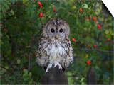 Tawny Owl (Strix Aluco), on Gate with Rosehips, Captive, Cumbria, England, United Kingdom Prints by Steve & Ann Toon