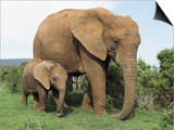 Mother and Calf, African Elephant (Loxodonta Africana) Addo National Park, South Africa, Africa Poster af Ann & Steve Toon