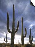 Saguaro Cactus, Backlit, AZ Prints by Adam Jones