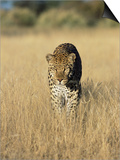 Male Leopard, Panthera Pardus, in Capticity, Namibia, Africa Prints by Ann & Steve Toon
