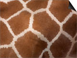 Close-Up of Skin of a Reticulated Giraffe (Giraffa Camelopardalis Reticulata), in Captivity, Africa Prints by Ann & Steve Toon