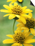 Arnica Chamissonis Prints by Mark Bolton
