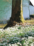Plants Under Trees Galanthus Nivalis (Snowdrop) Growing Under Tree, March Lake Behind Posters by Mark Bolton