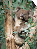 Koala Bear, Phascolarctos Cinereus, Among Eucalypt Leaves, South Australia, Australia Posters by Ann & Steve Toon