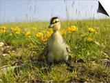 Mallard, Duckling in Wildflower Meadow, UK Kunst af Mike Powles