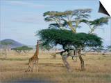 Giraffe, Serengeti National Park, Tanzania, East Africa, Africa Posters by Robert Francis
