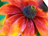 "Rudbeckia ""Gloriosa Daisies,"" Close-up of Flower Head Posters by Lynn Keddie"