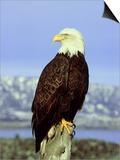 Bald Eagle on Post, USA Prints by David Tipling