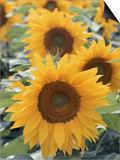 Helianthus, Sunflowers in Field Prints by Christopher Gallager