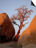Bare Tree Among Boulders at Sunrise, Joshua Tree National Park, California Poster by James Hager