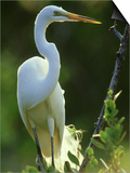 Great Egret, Florida, USA Affischer av Olaf Broders