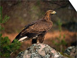 Portrait of a Golden Eagle, Highlands, Scotland, United Kingdom, Europe Posters par Rainford Roy