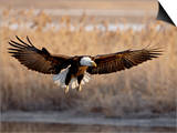 Bald Eagle (Haliaeetus Leucocephalus) in Flight on Final Approach, Farmington Bay, Utah, USA Art by James Hager