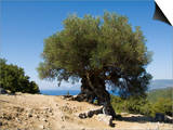 R H Productions - Very Old Olive Tree, Kefalonia (Cephalonia), Ionian Islands, Greece - Poster