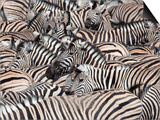 Plains Zebra, Crowd at Waterhole, Etosha National Park, Namibia, Africa Posters by Ann & Steve Toon