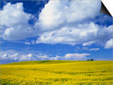 Rape Field and Blue Sky with White Clouds Posters by Nigel Francis
