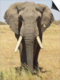 Front View of African Elephant with a Pierced Ear, Masai Mara National Reserve, East Africa, Africa Poster by James Hager
