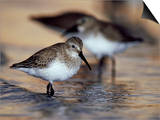 Western Sandpiper, Florida, USA Prints by Olaf Broders