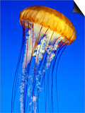 Sea Nettle Jellyfish, Monterey Aquarium Prints by Michael DeFreitas