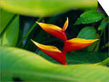 Heliconia Flower (Bird of Paradise), Tropical Rainforest, Dominica, Caribbean, Central America Prints by Fred Friberg