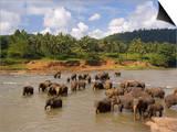 Elephants Bathing in the River, Pinnewala Elephant Orphanage Near Kegalle, Sri Lanka, Asia Prints by Gavin Hellier