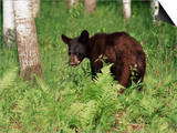 Black Bear Cub (Ursus Americanus), in Captivity, Sandstone, Minnesota, USA Prints by James Hager