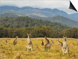 Eastern Grey Kangaroos, Geehi, Kosciuszko National Park, New South Wales, Australia, Pacific Prints by Jochen Schlenker